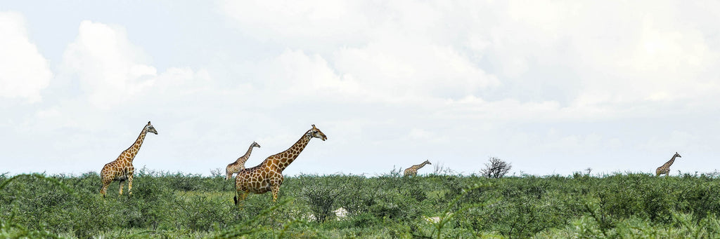 Giraffe Horizon Photographic Print