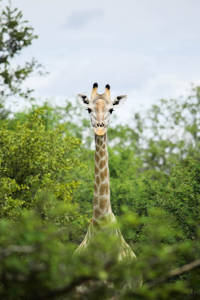 One Giraffe Photographic Print