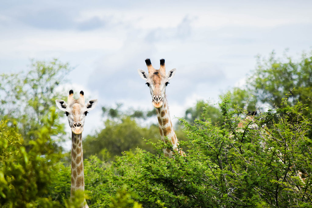 Two Giraffes Photographic Print