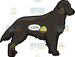 A Lovely Black Flat Coated Retriever Dog