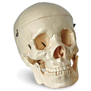 "Jack Richeson 710104 Adult Size Skull 6.5"" X 8"""
