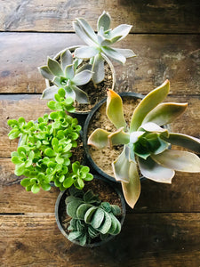 Succulent Plants Only (Combo of 4) - QYARI