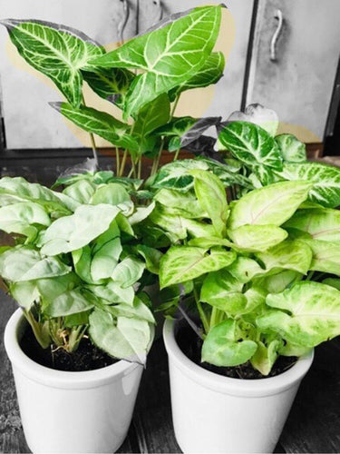 Syngonium Plants Combo (Set of 3) with Ceramic Pots