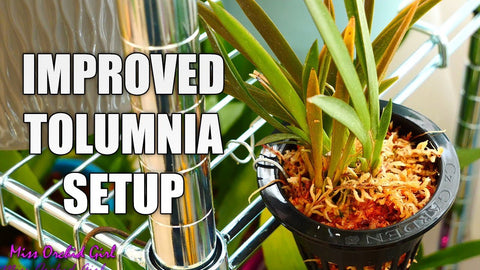 Today I am taking you along as I am adding a few twists to my Tolumnia setup! 🦋 More info below! 🦋 Tolumnias are wonderful, miniature Orchids which can be ...