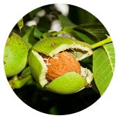The most raw and young form of walnut is the green walnut