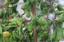 Load image into Gallery viewer, Contorted Hazel- Corylus Avellana Contorta