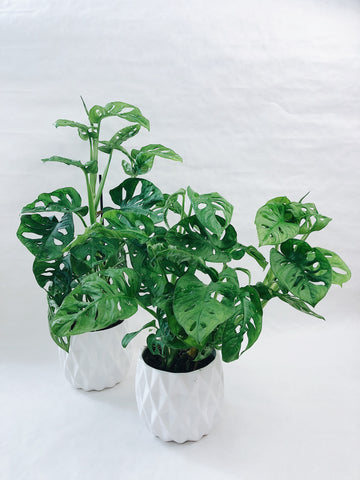 Monstera obliqua Monkey Mask