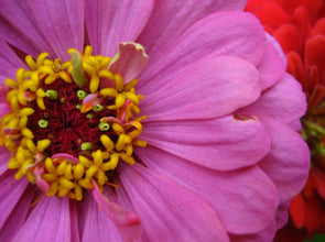 Zinnia Delight Photographic Print