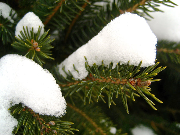 snow sitting on the branch of a green pine tree