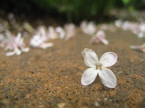 a fallen lilac flower on the ground