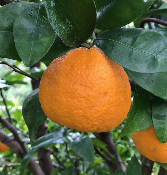 Pixie Mandarin Tangerines, Organic and Biodynamic