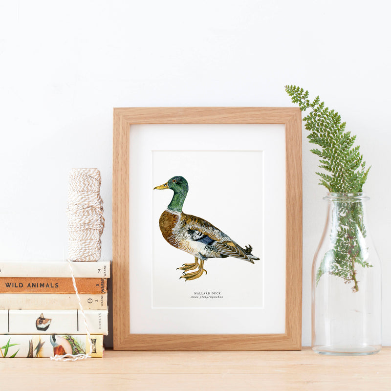 Mallard Illustrated Giclée Print - 18 x 24 cm