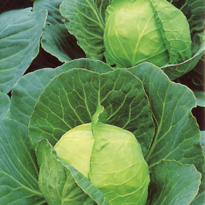 Cabbage Primo, New Season. - each