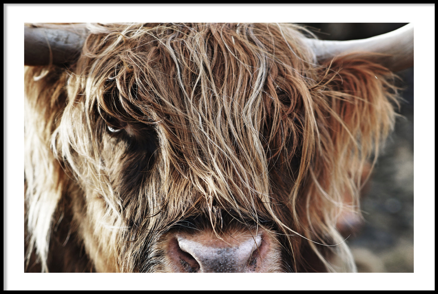 HIGHLAND CATTLE CLOSE UP POSTER