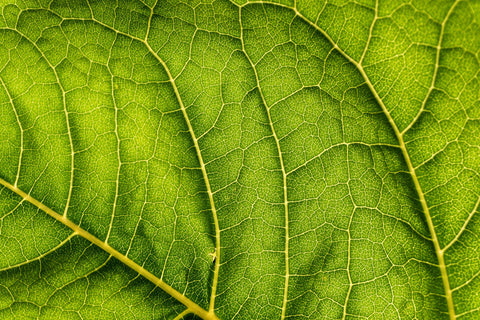 Close up of Leaf Vein - KryptoKratom.com