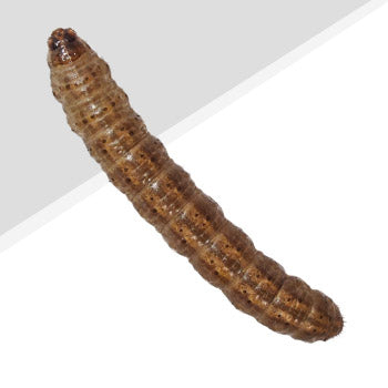 Woodworm Pest Control
