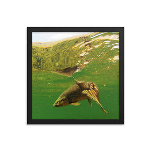 Framed poster - Brown trout swims