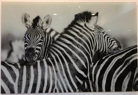 """Two zebra"" tempered glass photography - CLOSING DOWN PRICE - WAS $399 !"