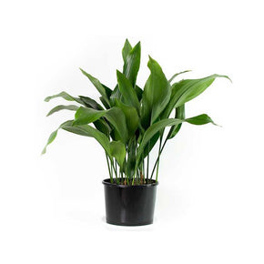 Philodendron (Apple Green)