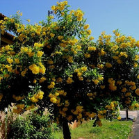 Tecoma Stans 20/250/500/1500 Seeds Small Tree, Yellow Elder Trumpet Shrub Bush