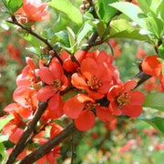 Chaenomeles Japonica Bush 10/100/500 Seeds, Red Japanese Quince Bonsai Flowering Shrub, Cold Hardy and Fragrant