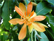 Michelia Champaca Magnolia Tree Shrub 10/100/500 Seeds, Fragrant Perfume JOY
