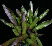 Neoregelia 'Best of Both' - Tropiflora