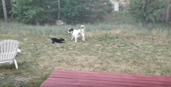 VIDEO: Great Dane Puppy Plays With Saint Bernard  - TOO CUTE!