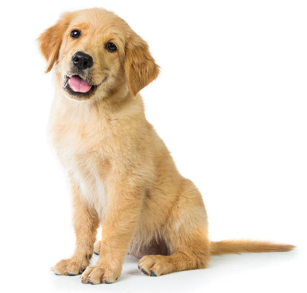 cute yellow lab puppy