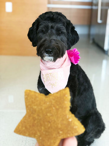 A Star-Shaped Natural Dog Treat Being Handed to a Black Goldendoodle For Her First Birthday