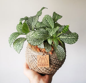 Large Fittonia Kokedama
