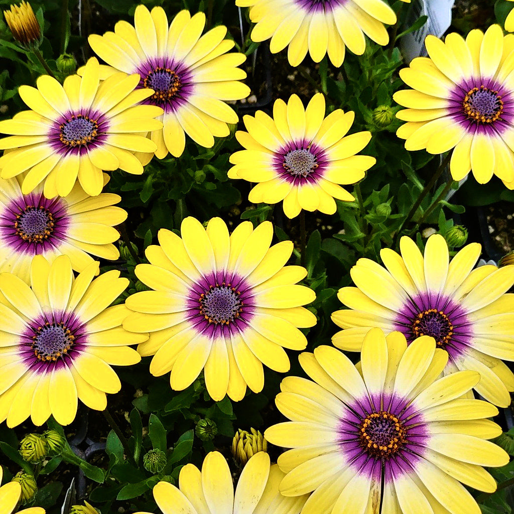 "African Daisy ""Blue Eyed Beauty"""