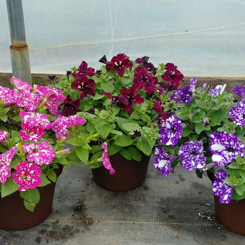 "Headliner Petunias 8"" Vaso Pot"