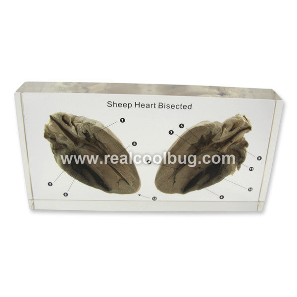 T609<br /> Sheep Heart Bisected