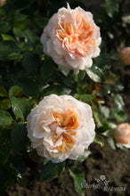 Load image into Gallery viewer, Garden of Roses