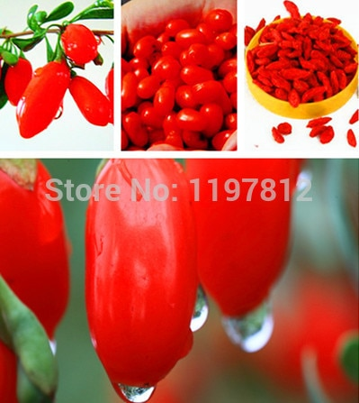 free shipping 300pcs bag Barbary Wolfberry Fruit bonsai Health Benefit Medlar Goji Berry Lycii bonsai