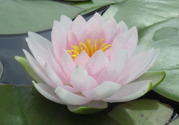 Nymphaea 'Hollandia' - Pink Perennial Waterlily