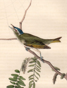 Detail view of Audubon Octavo Plate 243 Red-Eyed Vireo or Greenlet