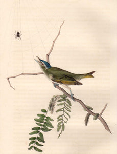 Closer view of Audubon Octavo Plate 243 Red-Eyed Vireo or Greenlet