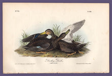 Load image into Gallery viewer, Audubon 1840 First Edition Royal Octavo Print 386 Duskey Duck, full sheet