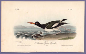 Original Audubon Print 1840 Royal Octavo, 324 American Oyster Catcher, full sheet