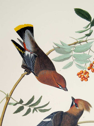 Audubon Abbeville Press Print for sale Plate 363 Bohemian Waxwing, detail