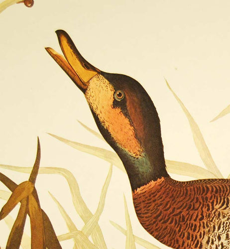 Audubon Amsterdam Print for sale Plate 338 Bimaculated Duck, detail