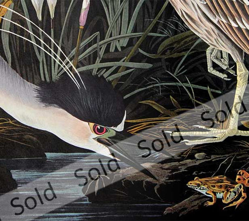 Audubon Amsterdam Prints for sale Pl 236 Night Heron, detail