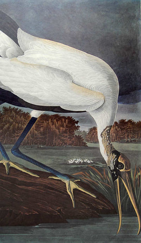 Audubon Amsterdam Print for sale Plate 216 Wood Ibis, closer view