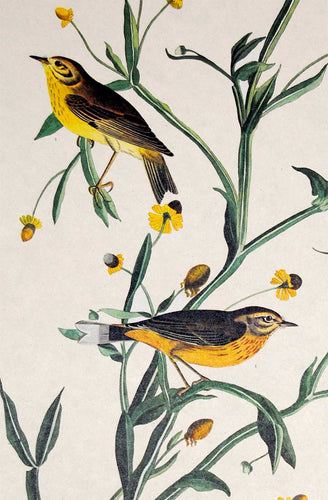 Audubon Amsterdam Print for sale Plate 145 Yellow Red Poll Warbler, detail