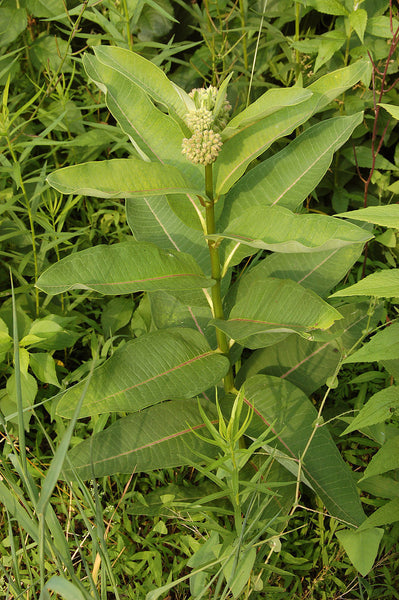 milkweed, common image####