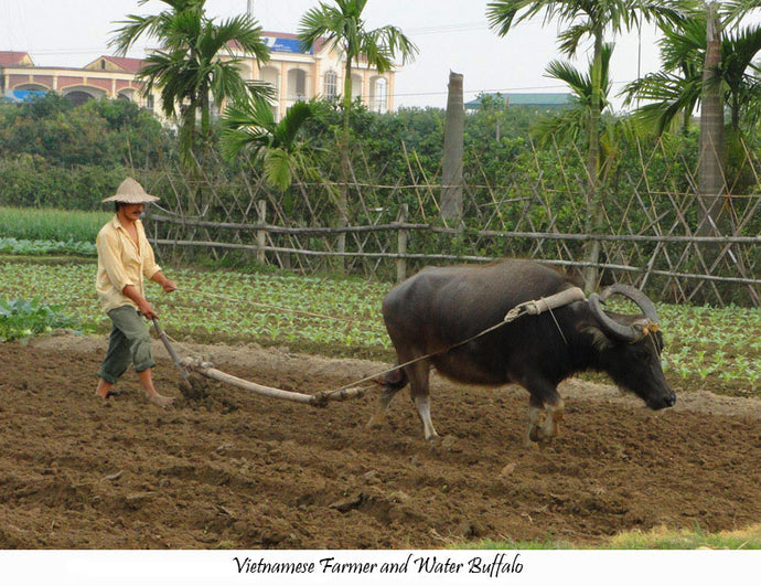 Water Buffalos in Vietnam