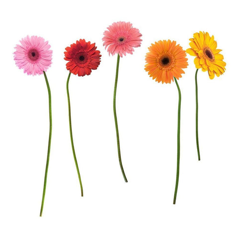 Gerber Daisies Peel & Stick Giant Wall Decals
