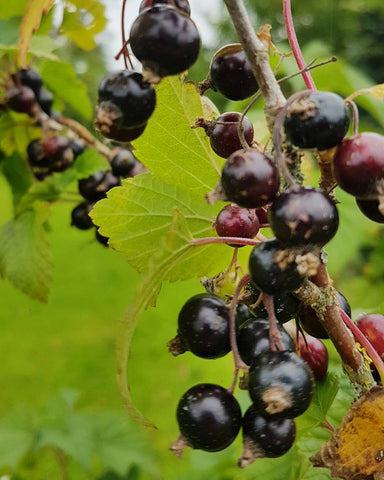 irish blackcurrants